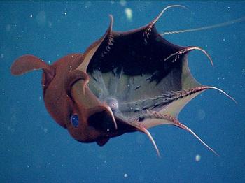 vampire-squid-found-to-eat-marine-snow-open_59706_big.jpg